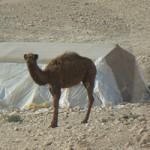 Camel in front of nomad tent in Jordan