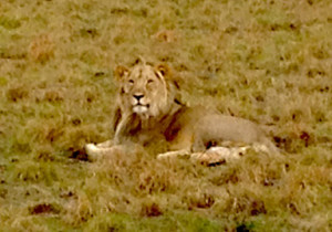 Lion at the Pilanesburg Game Reserve