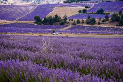 Lavandar Field in Provence, France